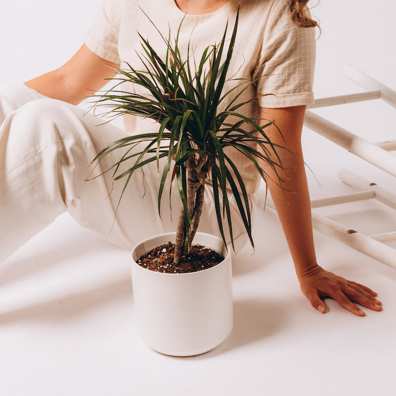 Dracaena - Marginata Twisted (Dragon Tree)