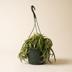 "8"" Hanging Spider Plant - Variegated"
