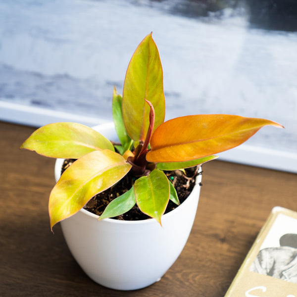 Hybrid philodendron Prune of Orange