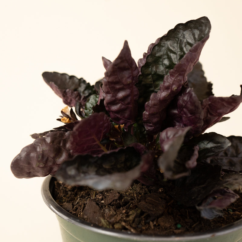 Purple Waffle Plant (Red Ivy)