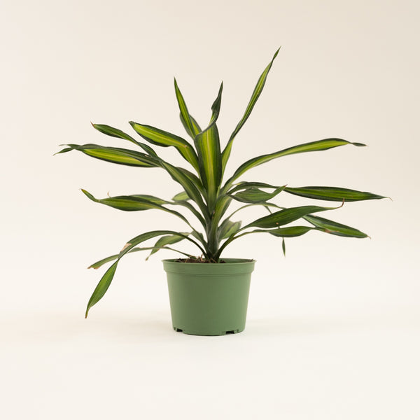 Dracaena Rikki - Leaf Damage