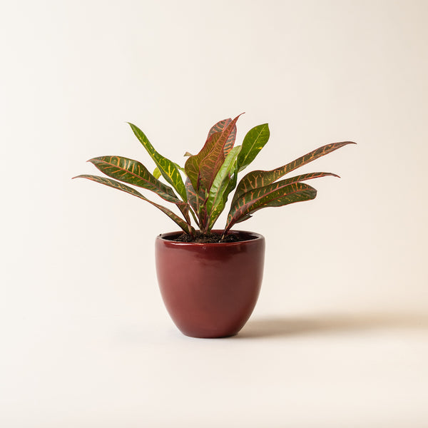 "Dark Red 5"" Classic Belle Pot"