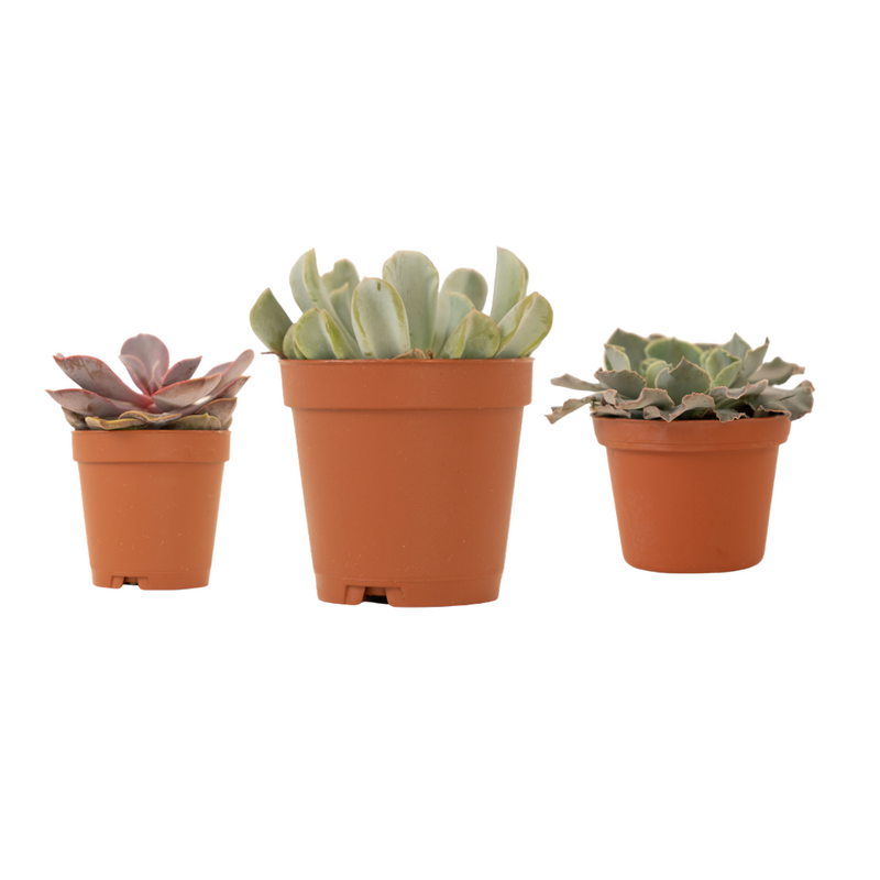 "3"" Succulent Variety Pack"