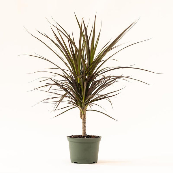 Dracaena - Marginata Magenta Cut Back Leaf Tip Damage