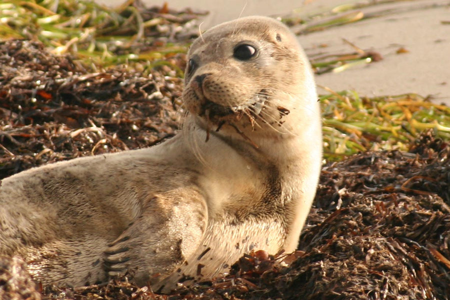 How are seals different from sea lions? (and cute seal plushies as pets)