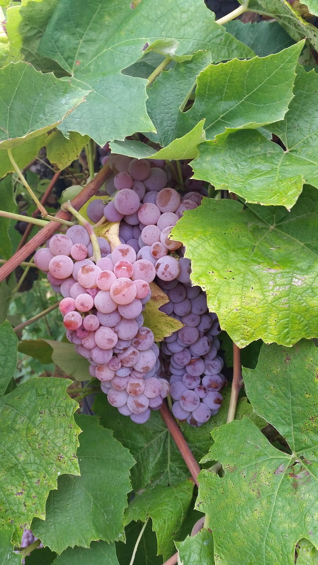 Canadice Red Grape