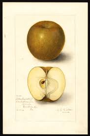Gold Russet Apple