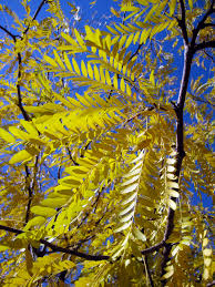 Thornless Honey Locust