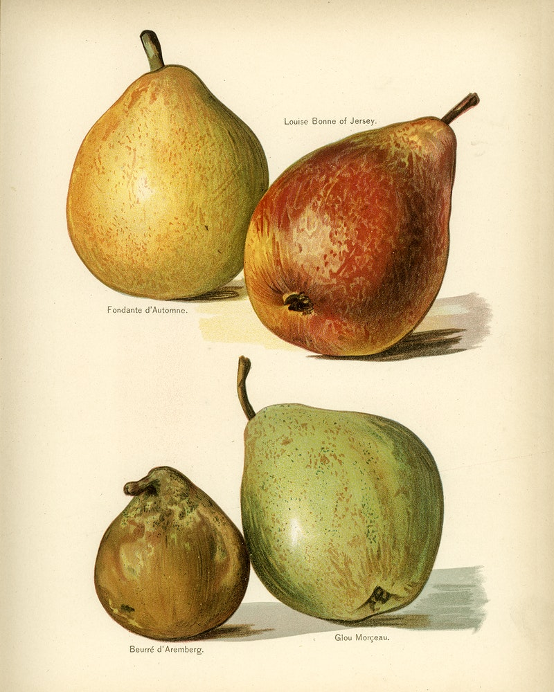 Summercrisp Pear
