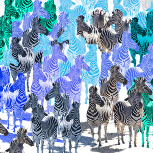 Zebra Party Blues Wall Art Poster By Hershgold