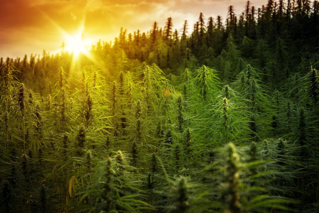 Hemp: The Wonder Plant | The Hemp Dispense