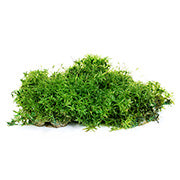 Irish Moss - Vitamin D Image