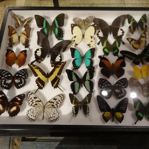 Stunning Butterfly Collection