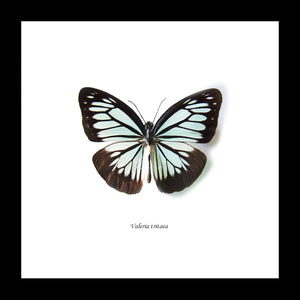 VALERIA SPECIES MATT FRAMED BUTTERFLY