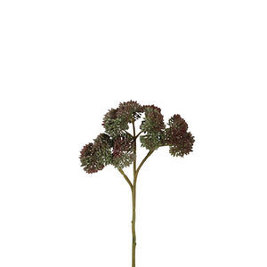 Sedum Pick x3 grün-bordeaux
