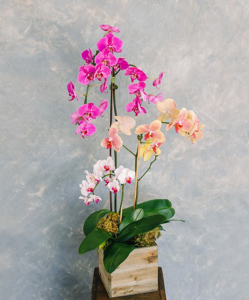 Orchid Plant - Multiple