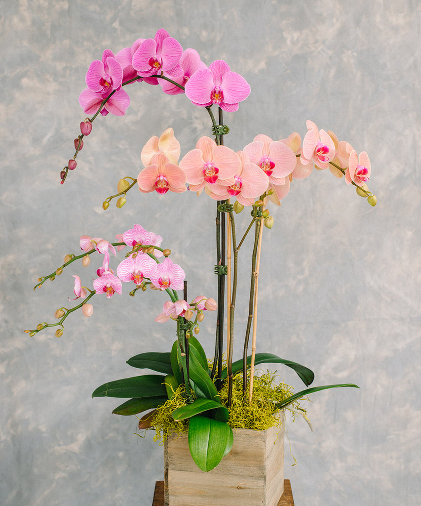 Orchid Plant - Color