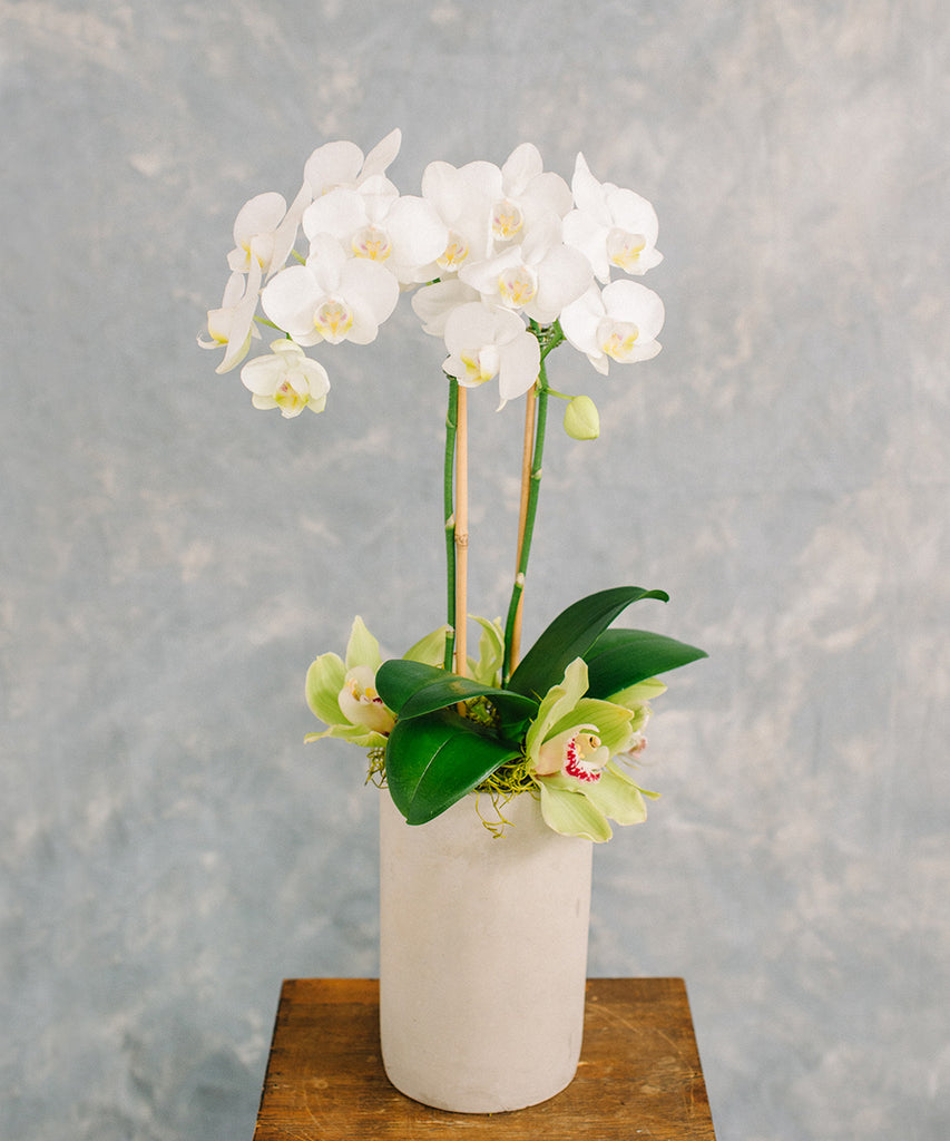 Mini Orchid Plant - White