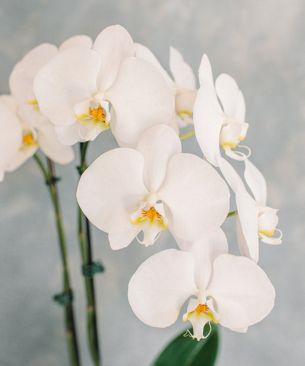 Orchid Plant - Single