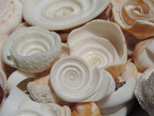Spiraling seashells collected by Lisl Armstrong on the Pacific coast of Costa Rica.