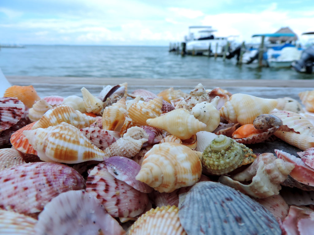 We found these seashells on Sanibel Island, Florida.