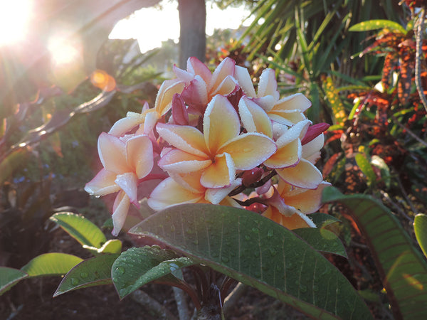 Beautiful plumerias in the morning sunshine.