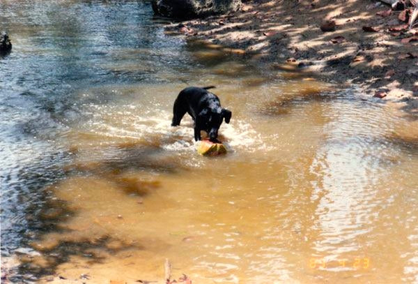 One of Lisl Armstrong's dogs playing with a coconut in the quebrada at Rivermouth in Rincon, Puerto Rico.
