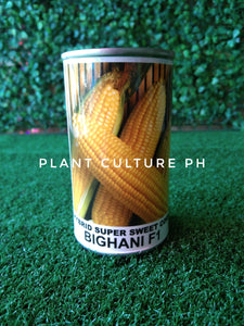 Condor Quality Seeds Hybrid Super Sweet Corn Bighani F1 by Plant Culture PH