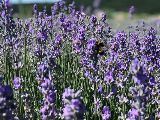 Lavender for the Skin