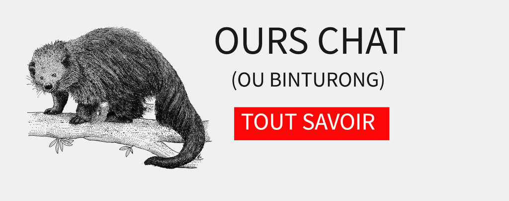 Ours Chat (ou Binturong) : Guide Ultime