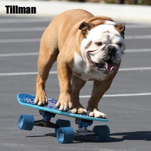 Guinness Book of World Records skateboarding bulldog