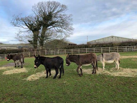 Donkeys in the field at Isle of Wight Donkey Sanctuary