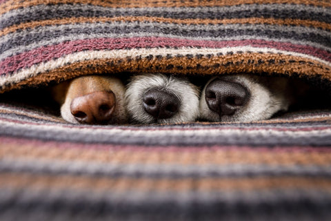 dogs on and cuddled in throw blanket