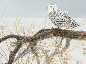 Fallen Willow Snowy Owl