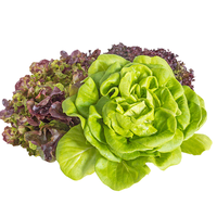 Lettuce, Purple Mignonette : Farm Fresh Organic