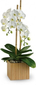 The White Collection  Phalaenopsis Orchids