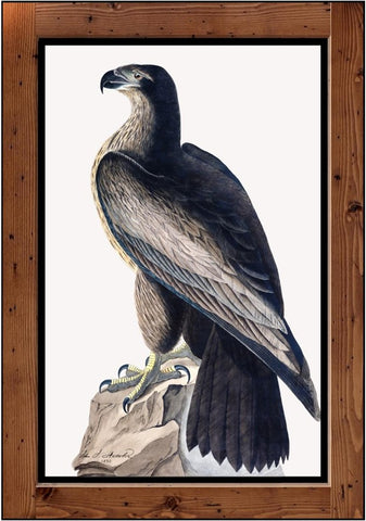 "Audubon Plate-11  ""Bird-of-Washington""  (1827-1838)"