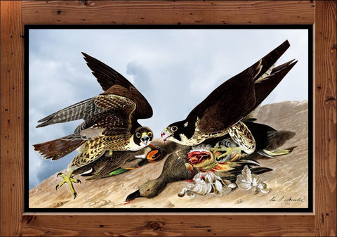 "Audubon Plate-16   ""Great Footed Hawk""  (1827-1838)"