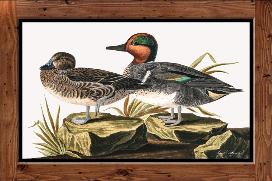 "Audubon Plate-228  ""Green Winged Teal""   (1827-1838)"