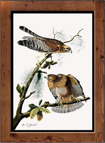 "Audubon Plate-56  ""Red Shouldered Hawk  (1827-1838)"