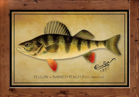 Denton Fish Print – Perch  (1897)