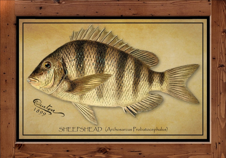Denton Fish Print – Sheepshead  (1899)