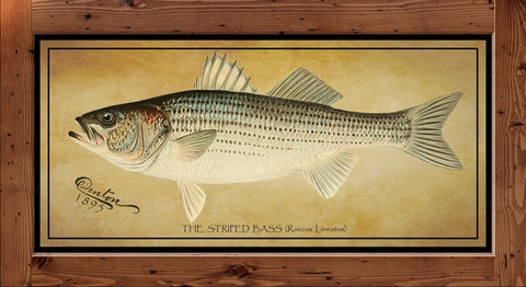 Denton Fish Print - Striped Bass  (1895)