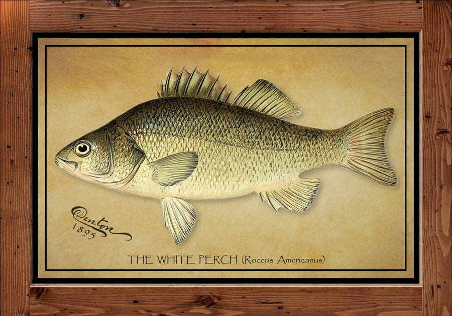 Denton Fish Print - White Perch  (1895)