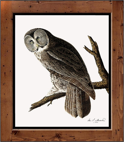"Audubon Plate-351  ""Great Cinereous Owl"" (1827-1838)"