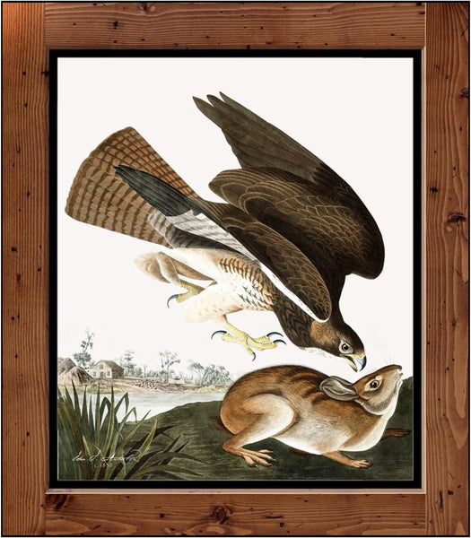 "Audubon Plate372   ""Common Buzzard""   (1827-1838)"