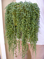 String of Pearls Senecio rowleyanus Succulent Cuttings