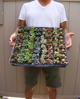12/24/36 Wedding Succulent favor Plants in 2 inch pots !! Great for party favors !!
