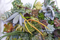 100 Assorted Succulent Cuttings Assorted Varieties
