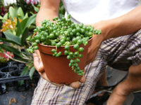 String of Pearls Succulent-Senecio - 4 inch pot